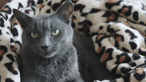 Close-up of a gray cat Live Action