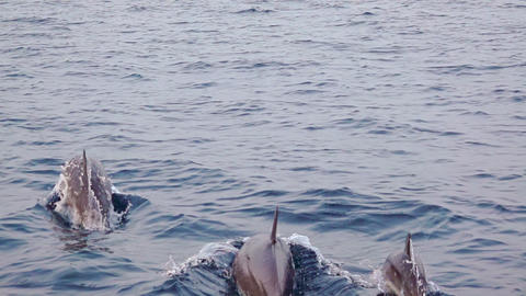 Family of Dolphins Jumping near a Boat. Slow Motion GIF