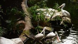 Spot billed pelicans birds or grey pelicans in a river - Pelecanus philippensis Footage