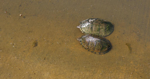 Two Mud Turtles 영상물