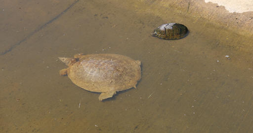 Softshell Turtle and Mud Turtle Live Action