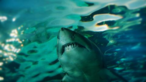 Ragged tooth shark closeup. 4K Footage