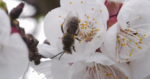 Stunning footage of a bee pollinating a cherry blossom Live Action