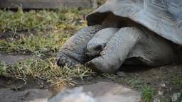 Galápagos giant tortoise or Galápagos tortoise eating grass - Chelonoidis Footage