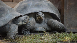Galápagos giant tortoise or Galápagos tortoise attacking - Chelonoidis nigra Footage