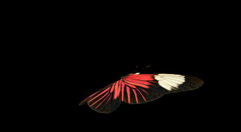 Butterfly Red CU blur Animation