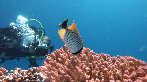 Underwater videographer, filming butterfly fish Live Action