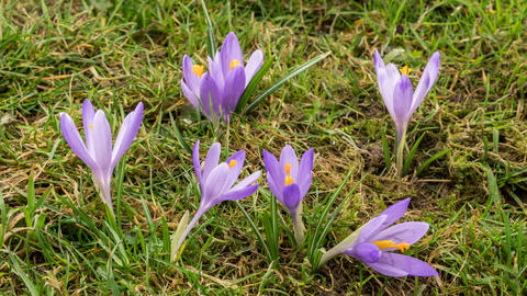 Crocus flower blooming in green spring meadow Time lapse Footage