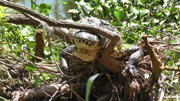 alligator resting on a tree roots Footage