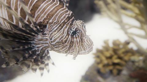 Lionfish closeup in 4K UHD Footage