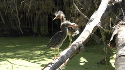 two young green herons Footage
