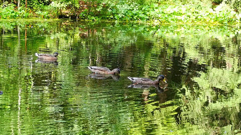 Ducks on lake in Sunny day Live Action