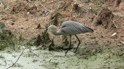 great blue heron swallows a large frog Footage