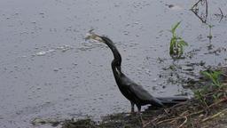 anhinga swallows a fish Footage