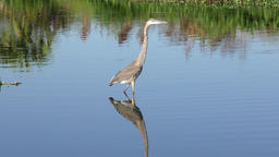 Great Blue Heron in a lake Footage
