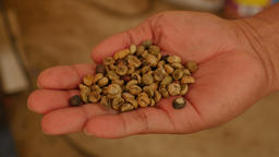 Expert's hand checking light raw coffee beans Live Action