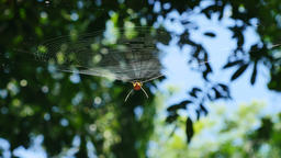 Spider on web in forest, Thailand Live Action