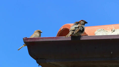 the sparrows standing on the roof, the sparrow bird Footage