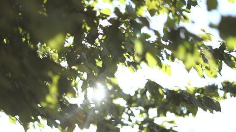 Sun shining through leaves Footage