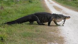 large alligator walking Footage
