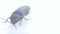 Detail of muzzle of insect. Click-beetle crawling on slippery white surface Live Action