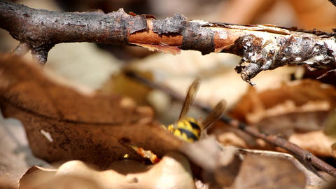 In the fall wasps become carnivorous Live Action
