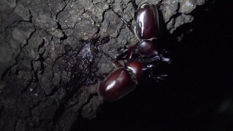 4K Insects Stag Beetle Collection 0