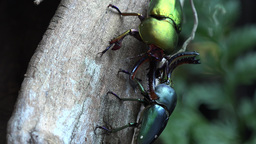 4K Insects Stag Beetle Collection 2