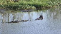 alligators bahavior during breeding season Footage