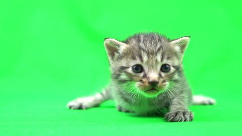 kitten Live Action