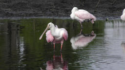 Roseate Spoonbill grooms its feathers Footage