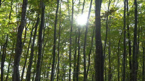 The fresh green of the beech forest Archivo