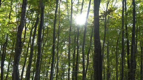 The fresh green of the beech forest Acción en vivo
