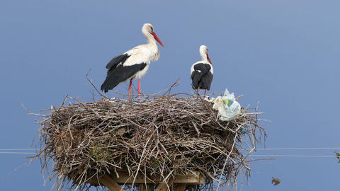 male and female storks in the nest Live Action