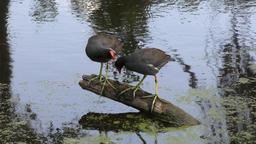 Common Gallinule pair on a log Footage