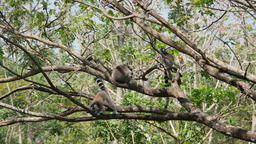 Ring-tailed Lemurs group on a tree Footage
