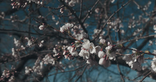 Gorgeous cherry blossoms at peak bloom Footage