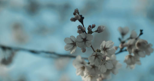 Cherry Blossoms at peak bloom in perfect light Footage
