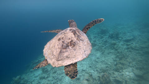 Shallow Ocean Waters With Sea Turtle Swimming Near Corals Live Action