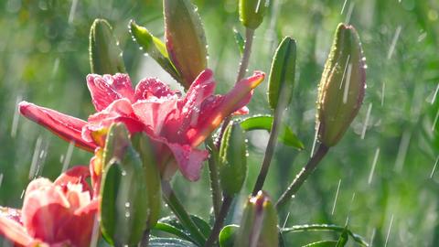 Pink Lily flower under rain GIF