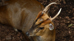 Reeves's muntjac in a natural park - Muntiacus reevesi Archivo