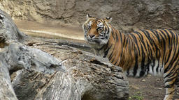 Sumatran Tiger in a natural park - Panthera tigris sumatrae Footage