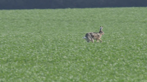 Slow Motion Of A Brown Hare Running Across A Field stock footage