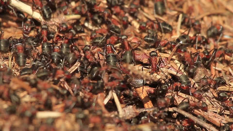 Close up of ants moving on an anthill Footage