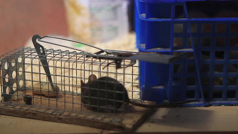 Young house mouse stealing a peanut out of a trap Footage