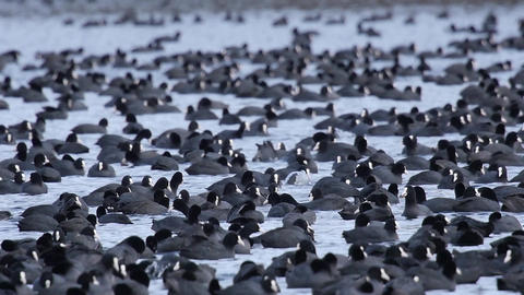Slow motion of a huge flock of Eurasian coot Footage
