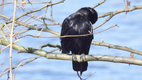 Carrion crow resting on a branch at a lake in springtime Footage