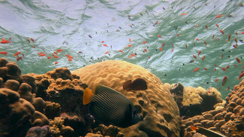 A Couple Of Angels Fish, Playing On A Colorful Coral Reef stock footage