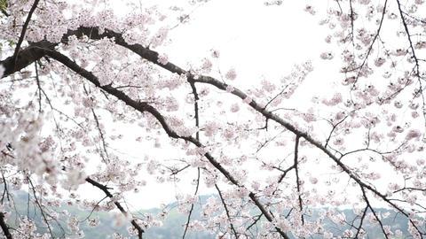 Korea Cherry Blossoms