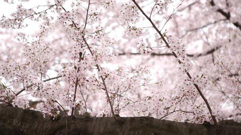 Korea Cherry Blossoms 0